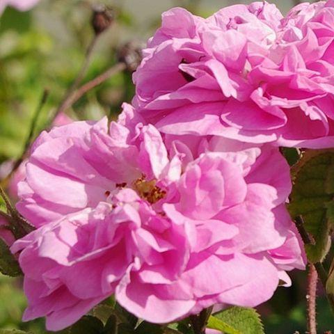Quand le poivre rencontre la rose, reine des fleurs et star de CARON.  When pepper meets rose, queen of flowers and star of CARON.